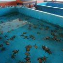 Penangkaran Penyu di Pulau Pramuka Kepulauan Seribu